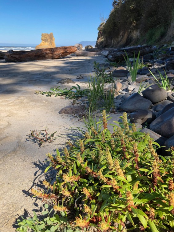 Rumex, pioneering onto intertidal sand | Probably Rumex maritimus , golden dock, seaside dock