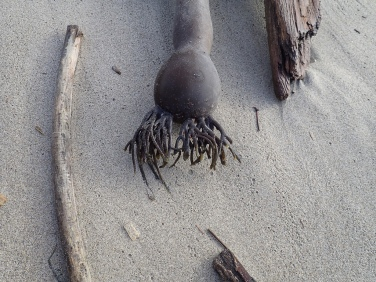 Bull kelp and driftwood