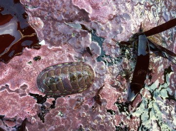 Look for lined chitons among the crustose corallines.