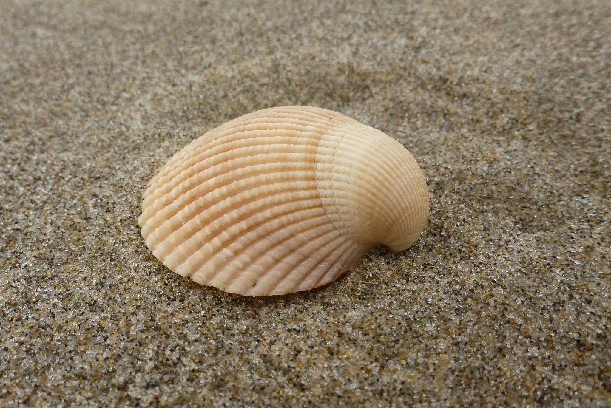 Cockle shell on sand