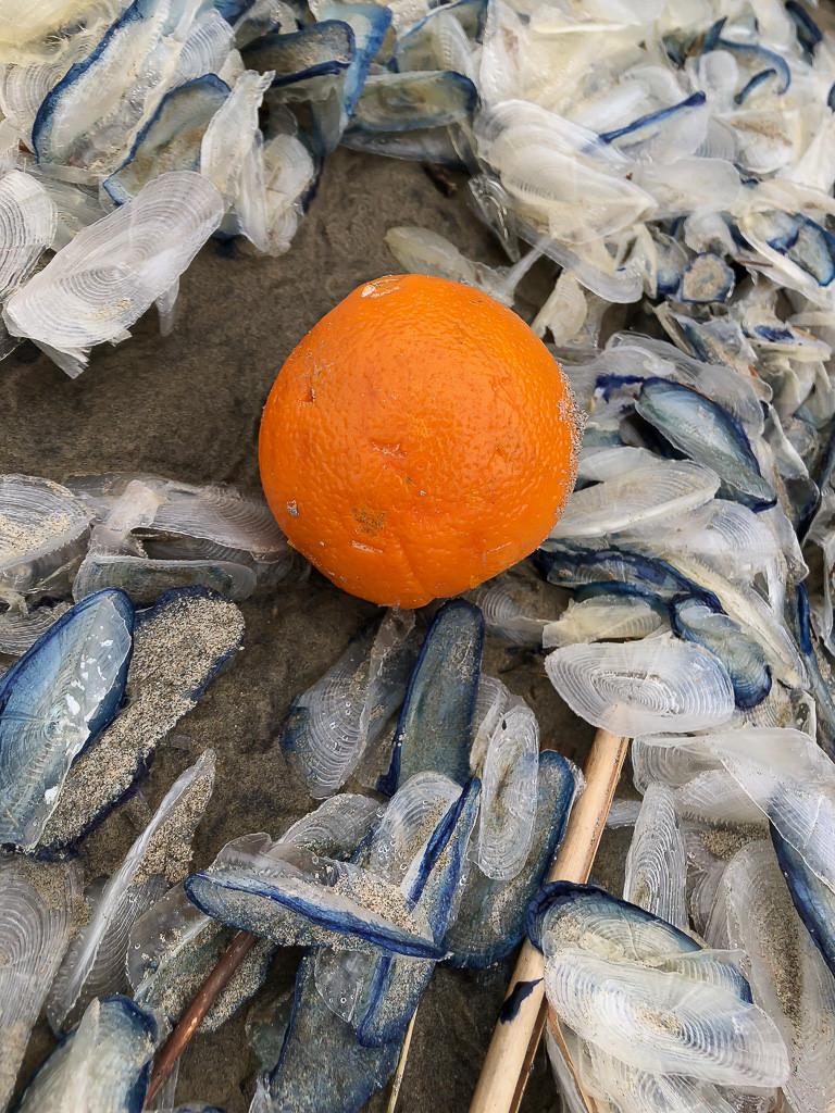 On orange on a bed of Velella velella