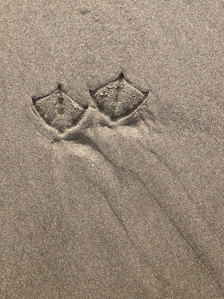 pair of gull tracks