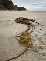 Drifted bull-kelp, Nereocystis luetkeana