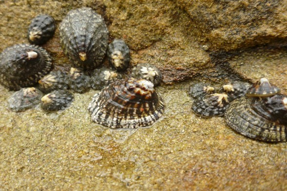 High intertidal limpets, exposed at low tide