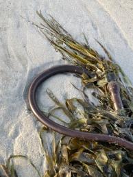 Bull kelp, graceful, even in the drift