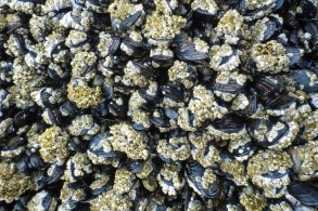 medium distance view of maybe about 90 mussels, crusted with barnacles