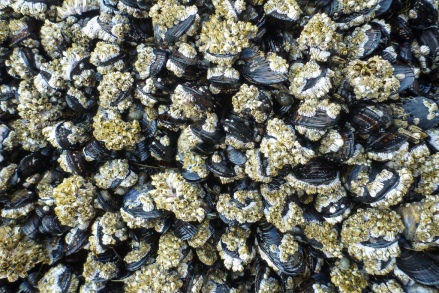 A homogenous, medium distance shot of mussels encrusted with barnacles, mostly thatched and a few acorn