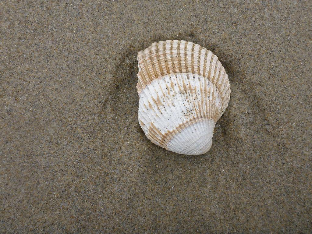Eroded, fragmented valve on sand