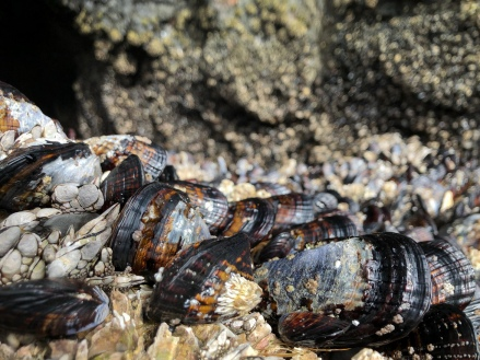 Close up of mussels among goose neck and thatched barnacles