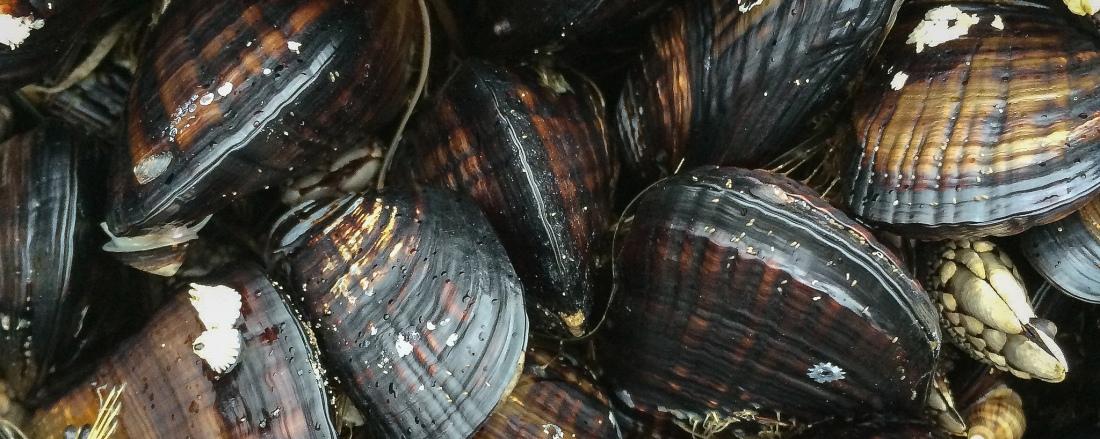 California mussels, close up