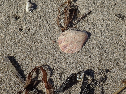 pinkish shell, colored side up, on sand