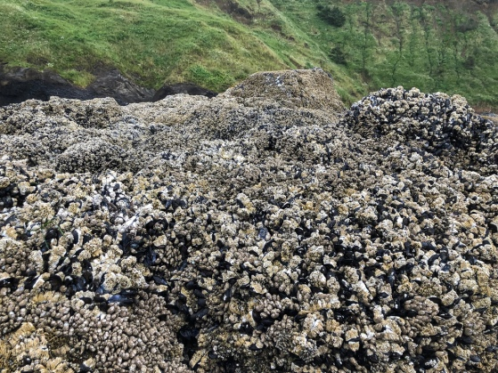 Looking landward, mussel bed in foreground. green coastal slope in the background