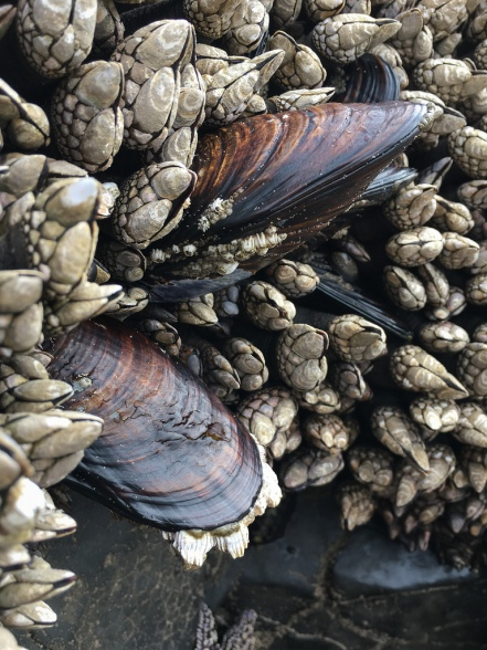 Two large california mussels poking out prominently through some goose neck barnacles