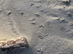 Shorebird tracks at the base of the foredune