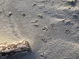 Shorebird tracks at the base of the foredune