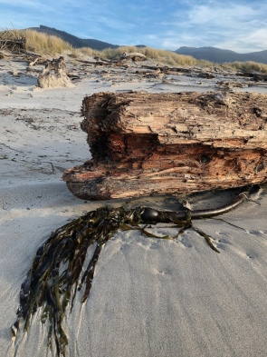 Drift bull kelp meets a large drift log on the beach