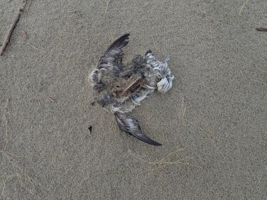 Decomposed carcass, small seabird