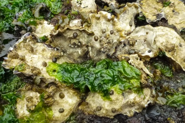 Cluster of about 10 oysters and their companions