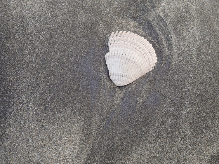 Nuttall's cockle fragment on sand