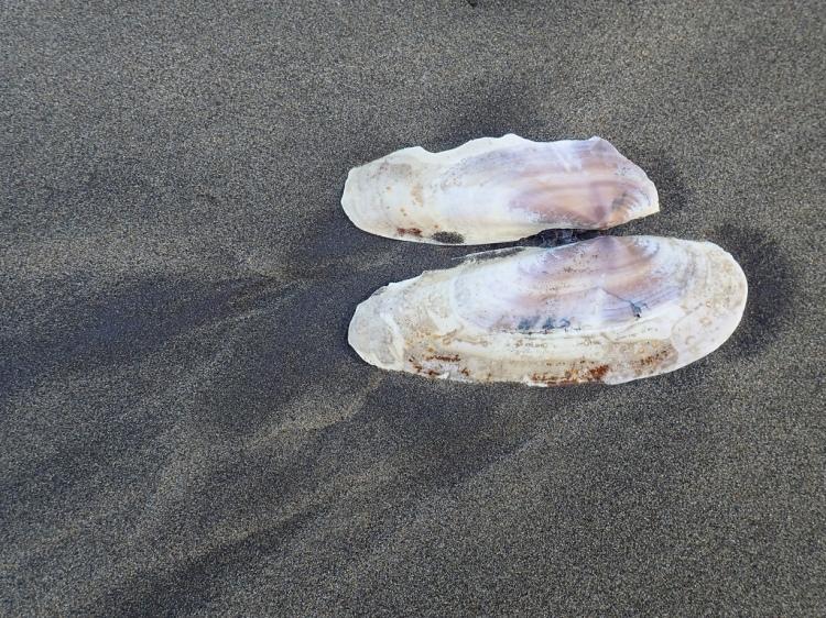 Both valves, Pacific razor clam, on sand