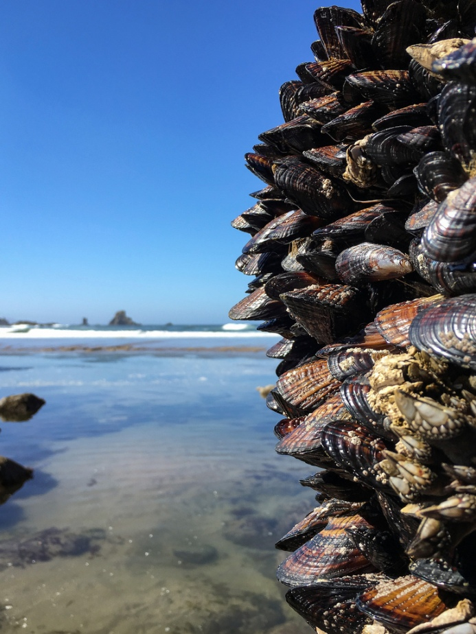 California mussels , exposed at low tide, perched on a vertical rock wall