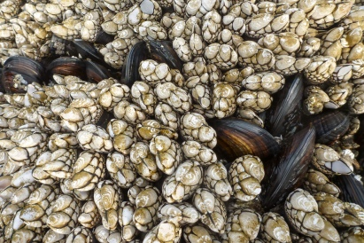 California mussels barely poking out through he goose neck barnacles