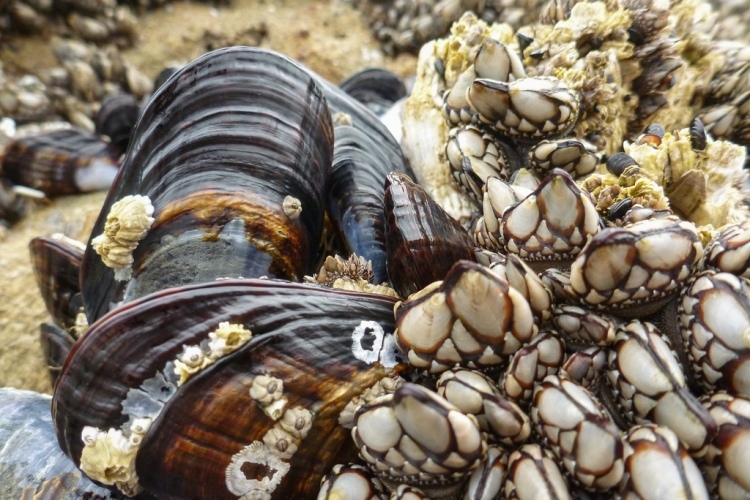 Close view of a few California mussels among some goose neck barnacles