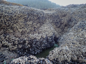 Big mussel bed from the sea side of a reef. Forested hills in the background