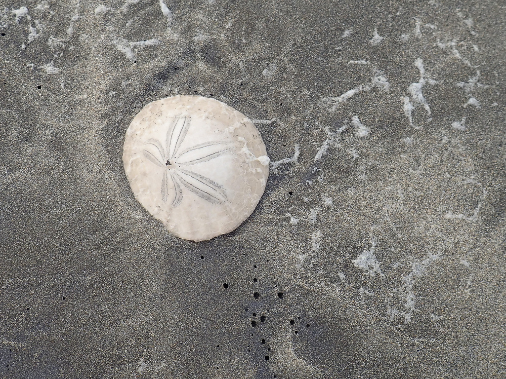 Sand dollar with a pattern of sea foam on the sand