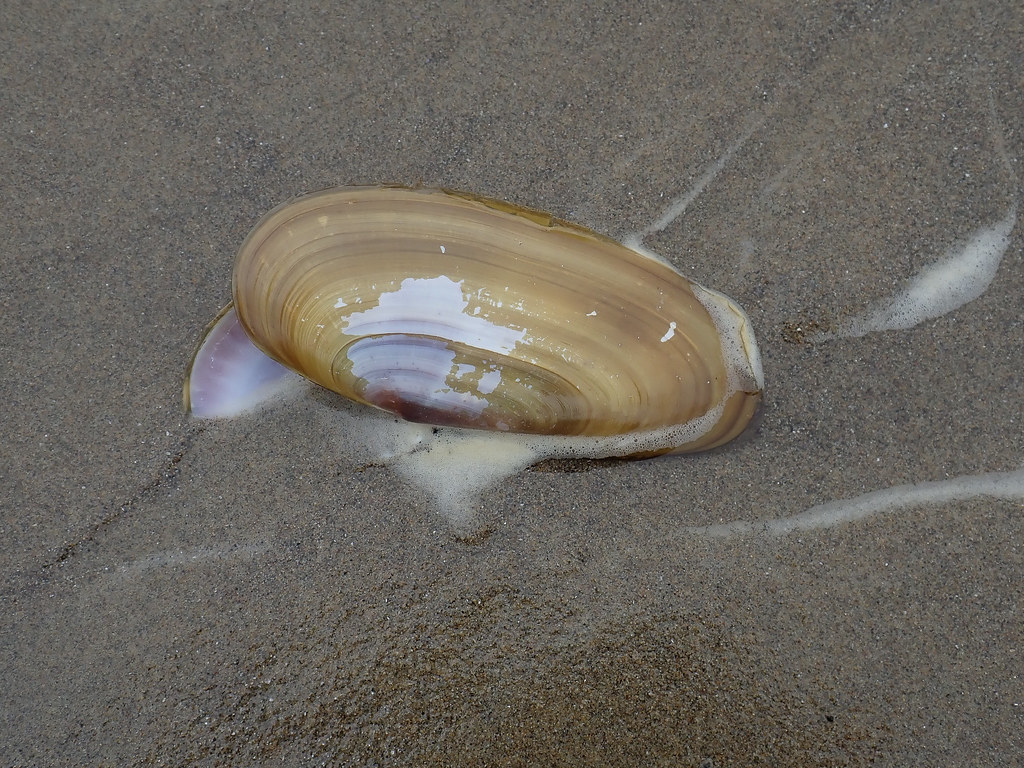 Fresh shell on wet sand, periostracum mostly present