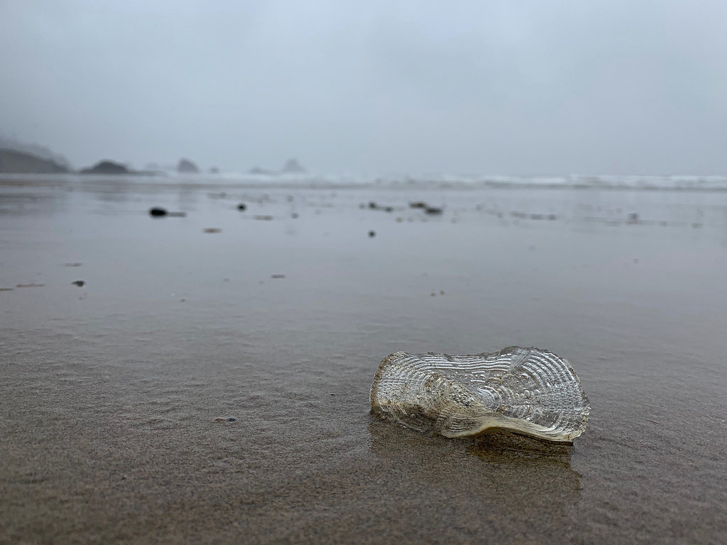 Clear bleached velella test on wet sand, view out to sea