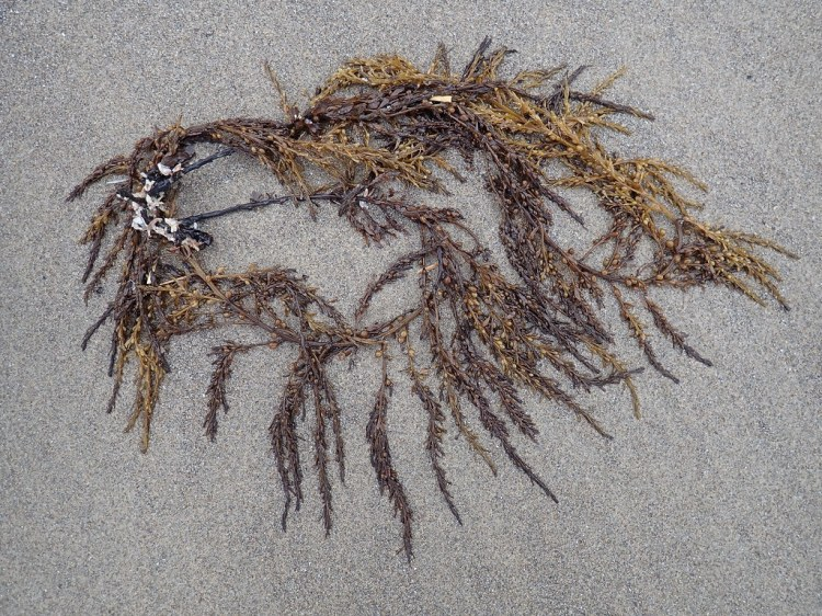 Drifted clump on wet sand, look like it's seen better days