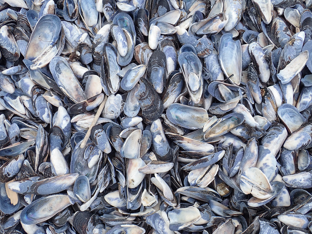 Lot of washed up California mussel shells, possibly from a die-off