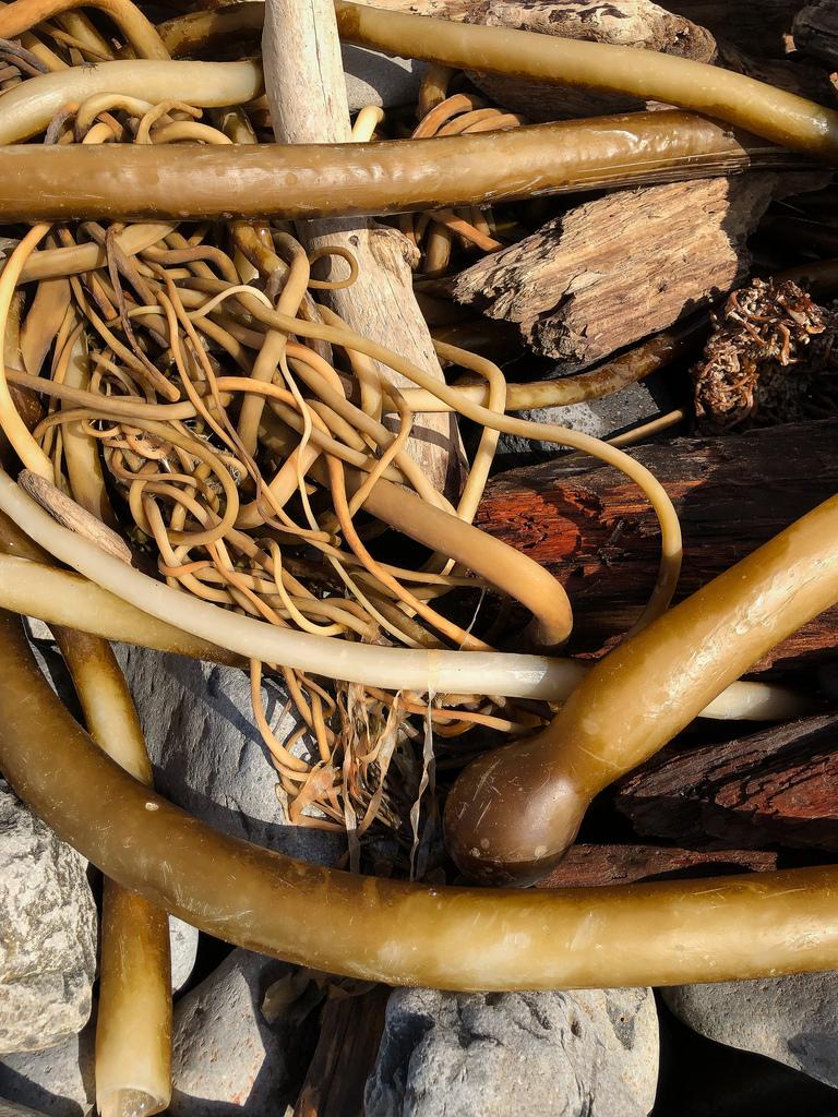 A tangle of drift bull bull kelp