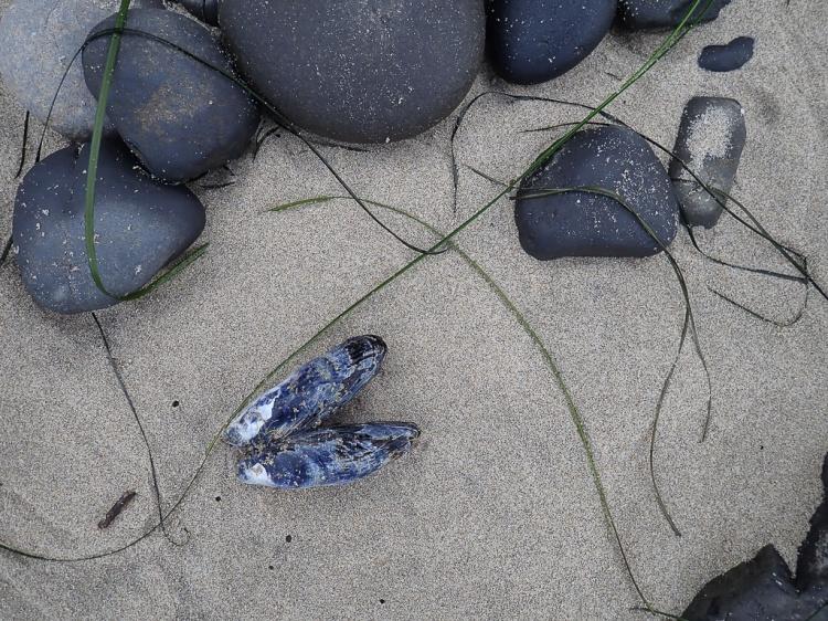 Coobles, drifted mussel shell, drifted surf grass, on wet sand