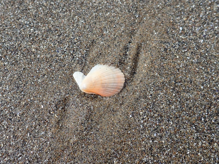 drifted pink scallop shell