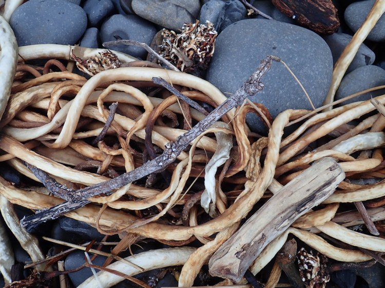 A dried tangle in the cobbles, among some woody terrestrial matter