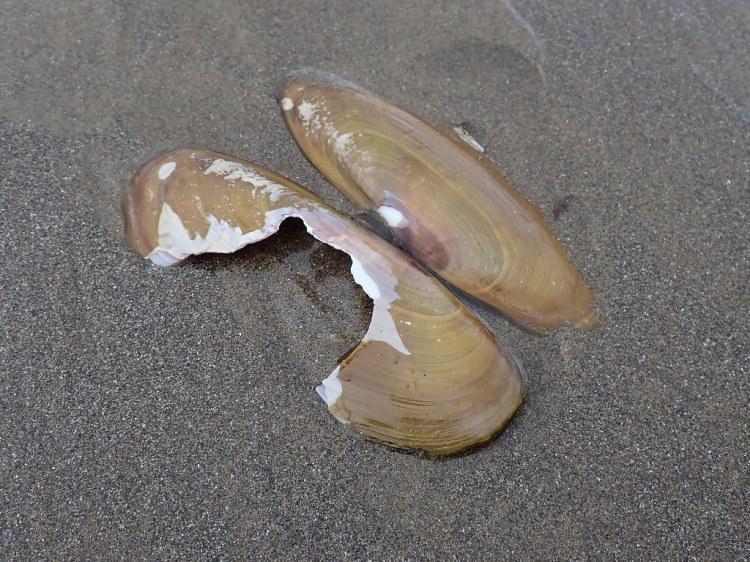 Fresh razor clam shell, damaged, on wet sand