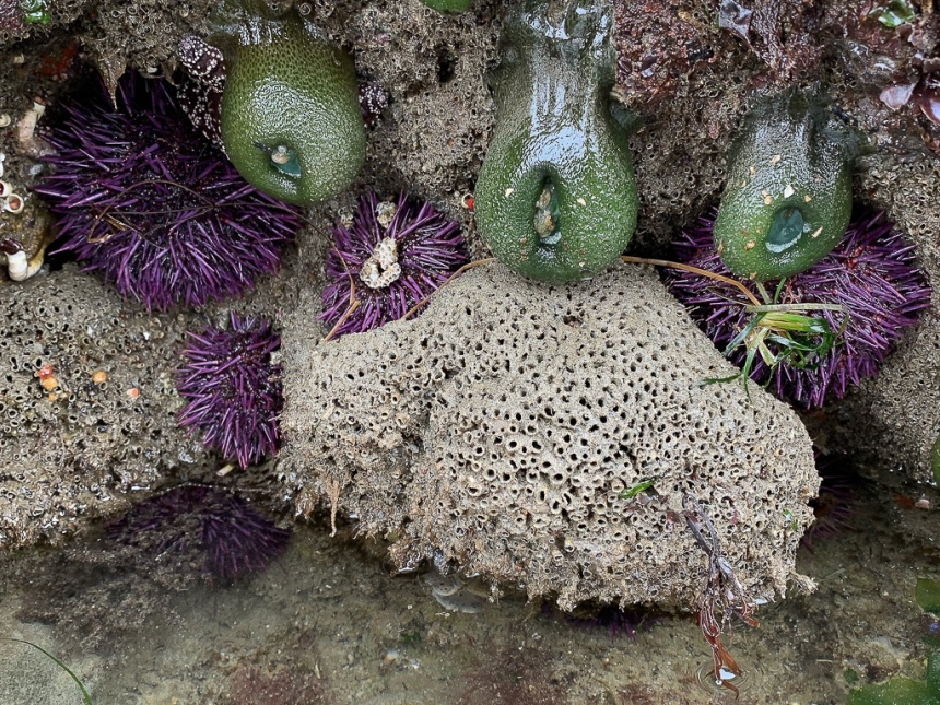 I nice fresh mound with some purple urchins and giant green anemones