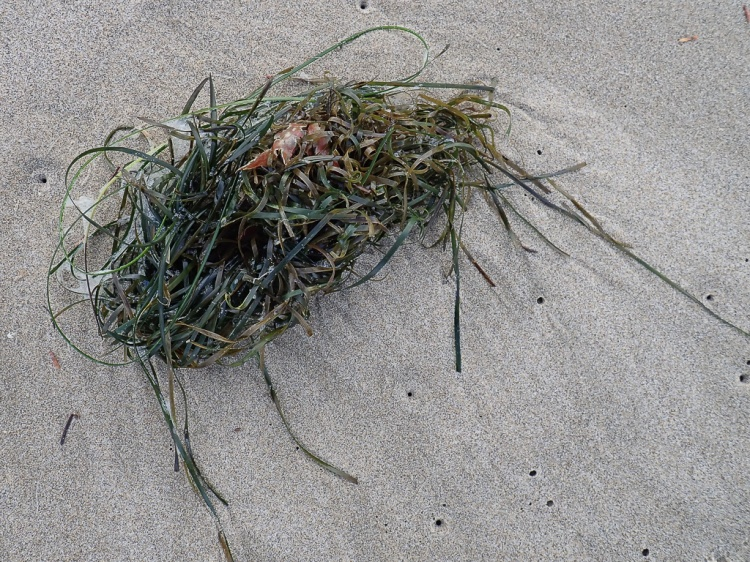 A tangled, drifting wad of surfgrass