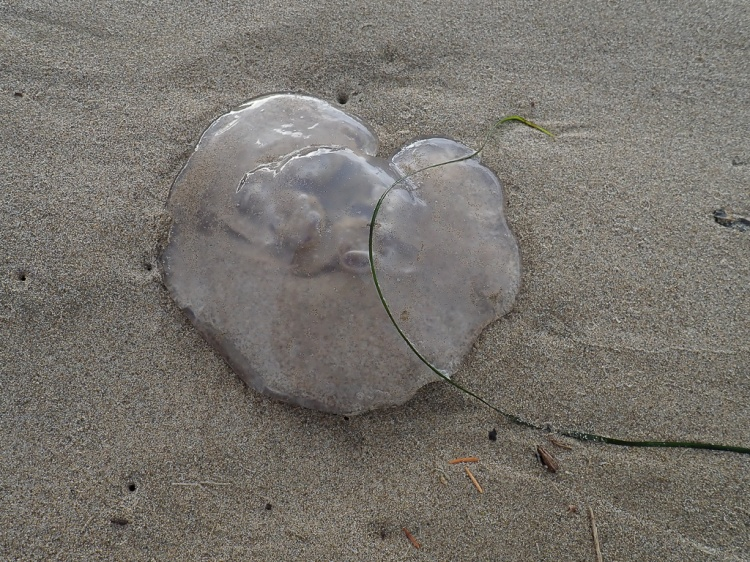 moon jelly on sand
