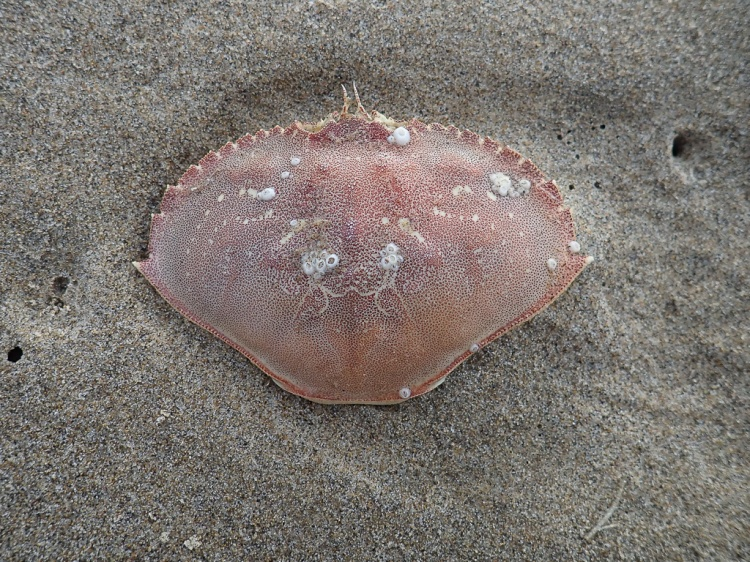 Carapace, on sand