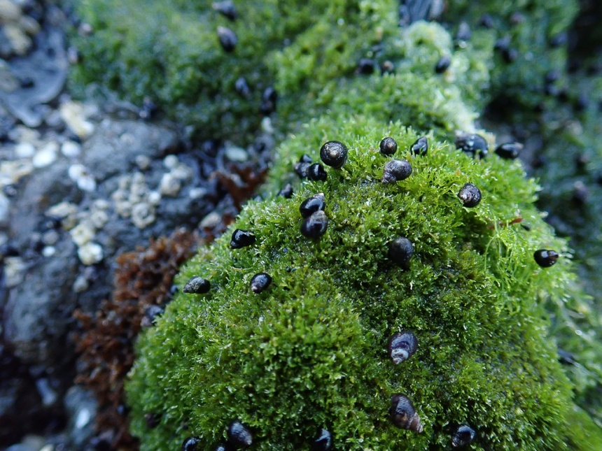 Intimate view of a periwinkles on sea moss