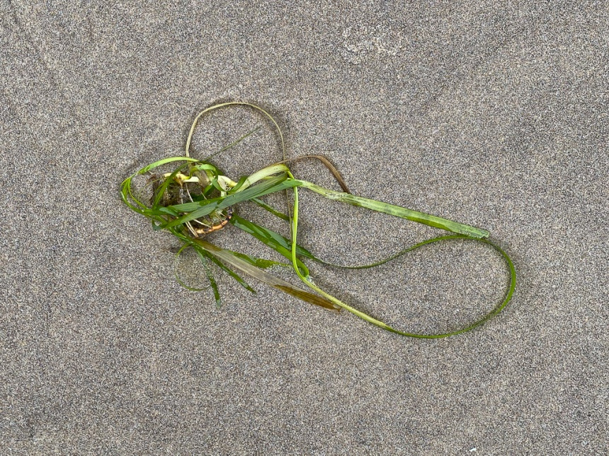 Just a small drifted eelgrass plant on wet sand