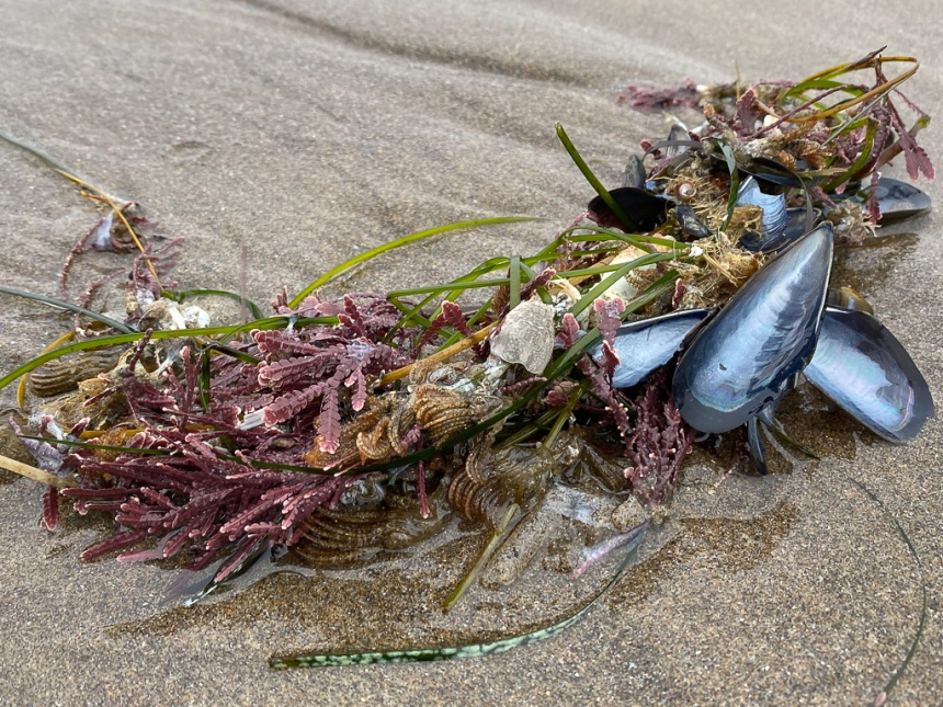 A diverse clump of sea wrack on wet sand- lots of dead and drifted stuff