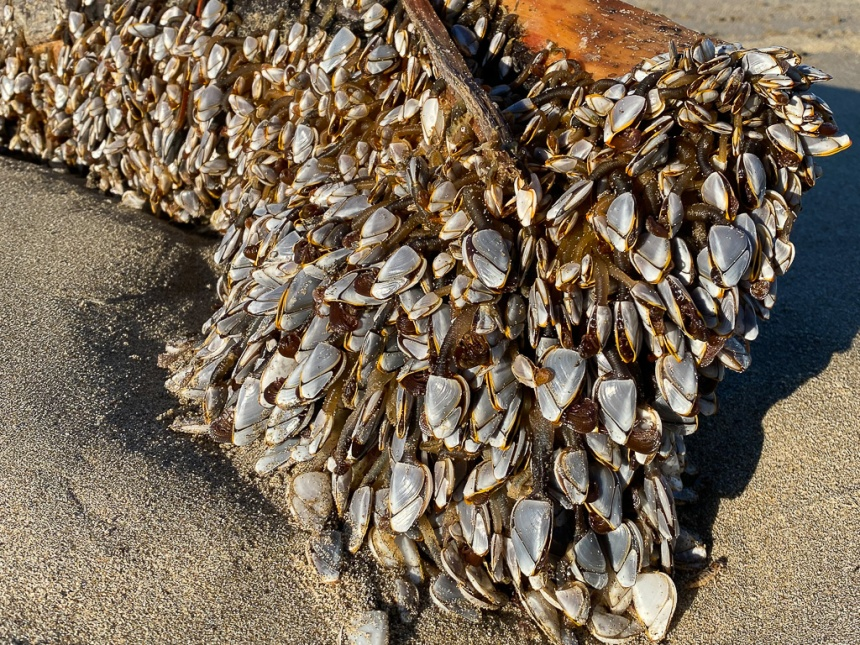 Freshly washed ashore, the barnacles are good-sized and in good shape. Bright sunlight