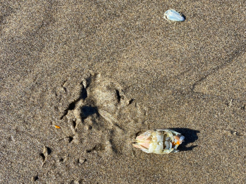 Gruesome scene on wet sand. Dead female left behind with only its eggs eaten