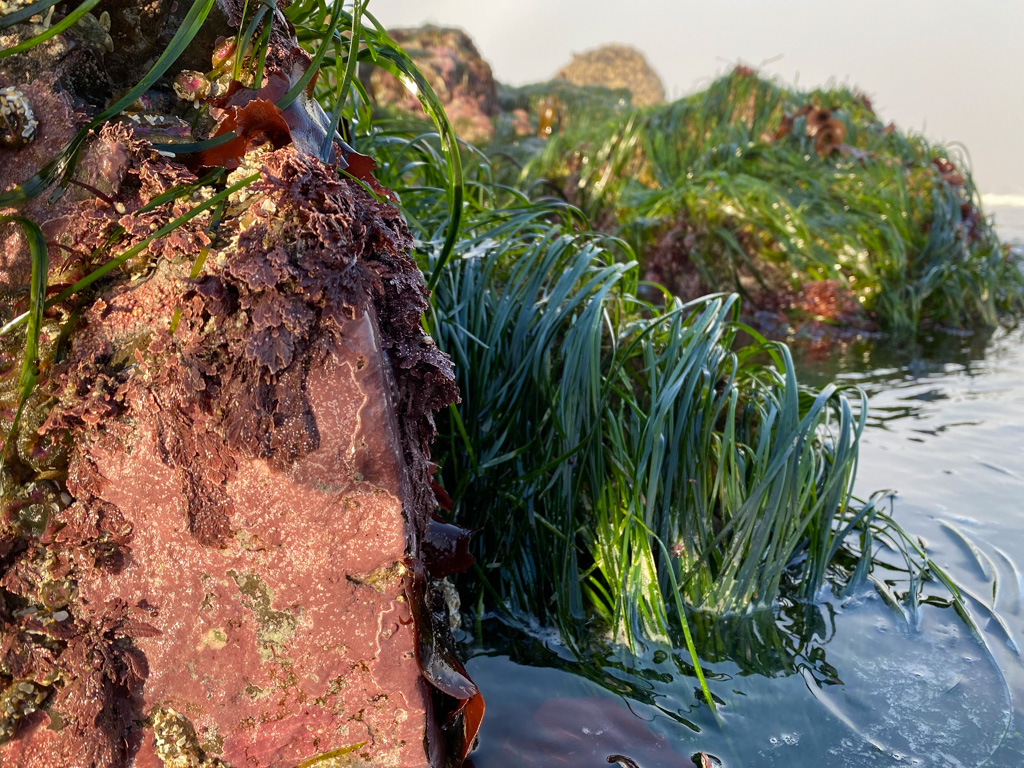 Coralline crusts in the foreground, surfgrass behind. Just above water level