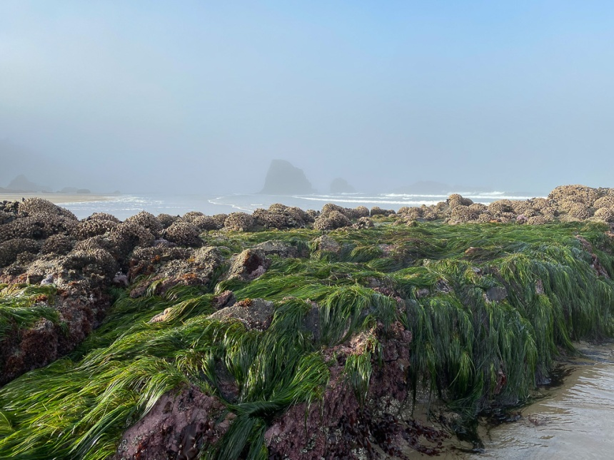 Surfgrass on a low rock in morning sunlight. Sea stack in the background, though mist