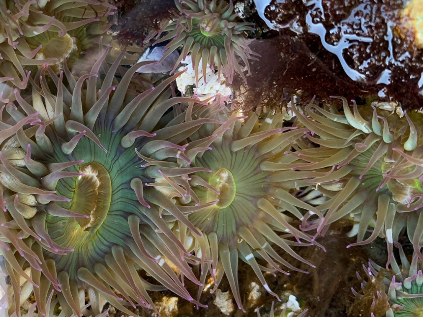 I lineup of pink-tipped green in a rocky tide pool